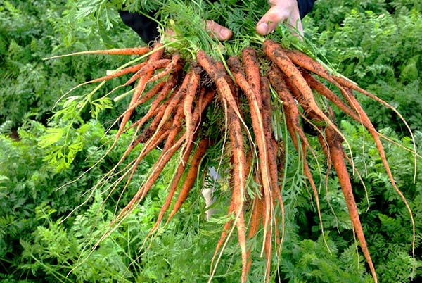carrots in raw format