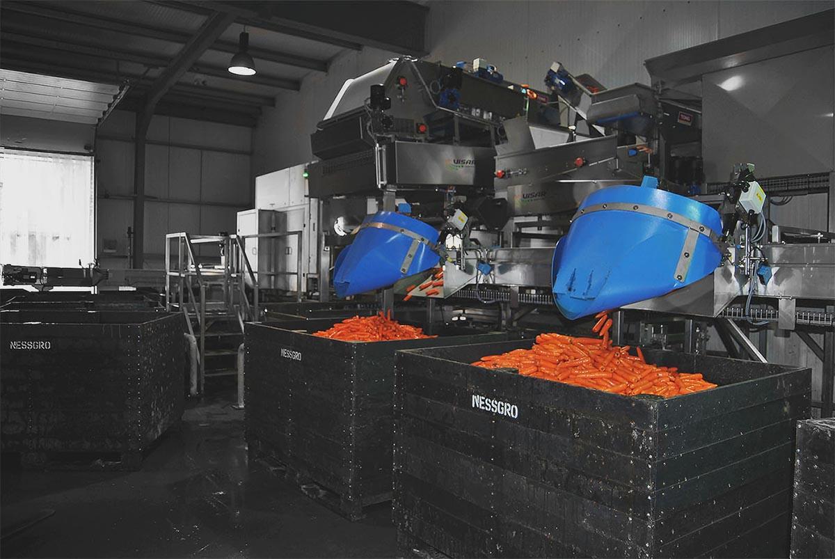 optical sorter machine sorting carrots