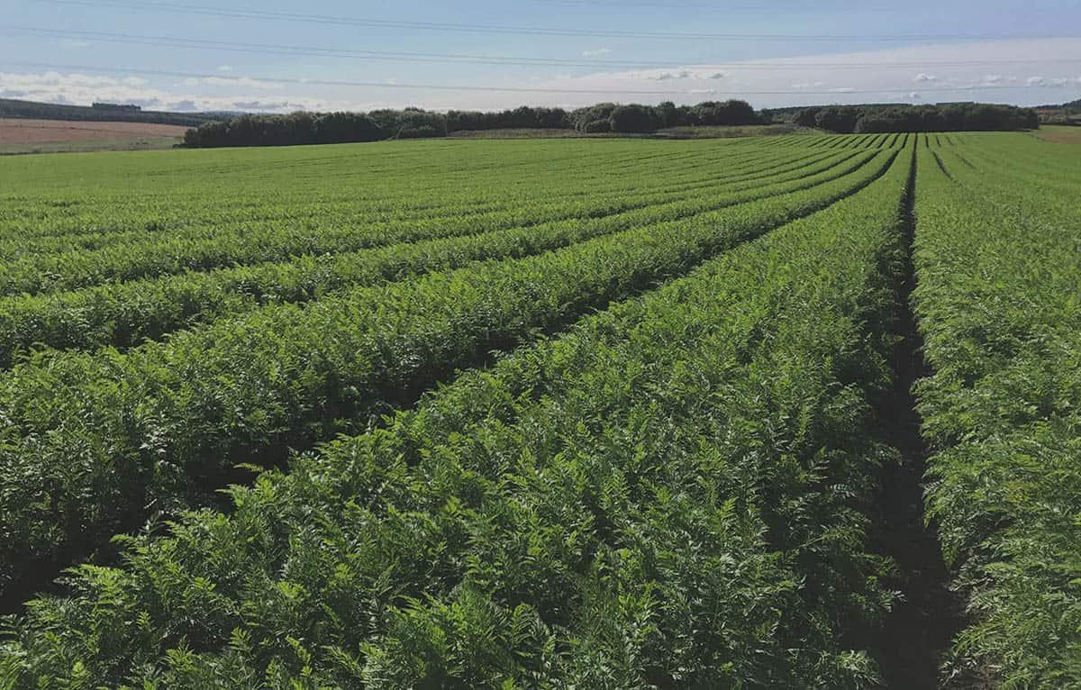 green carrot crop in field